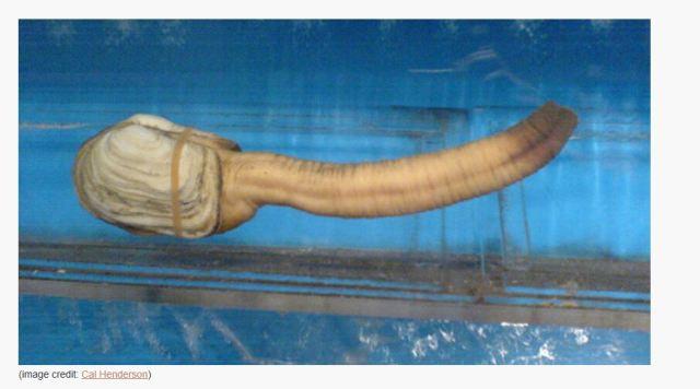 Picture found on: http://www.darkroastedblend.com/2008/06/geoducks-are-strange.html